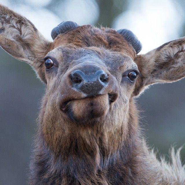 17 Best Images About Elk Hunting On Pinterest