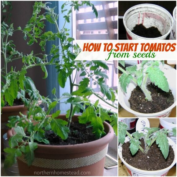 """How to start tomatos from seeds  """" In order to have a healthy, not leggy, tomato plant it is good to plant the seedling deep into the soil."""