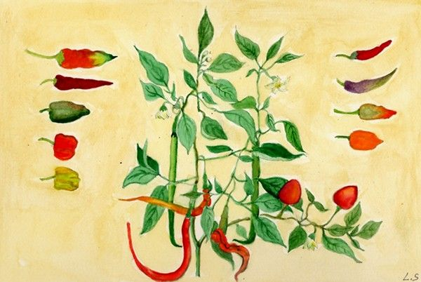 La coltivazione del peperoncino in vaso.. e il Balconorto si fa piccante!