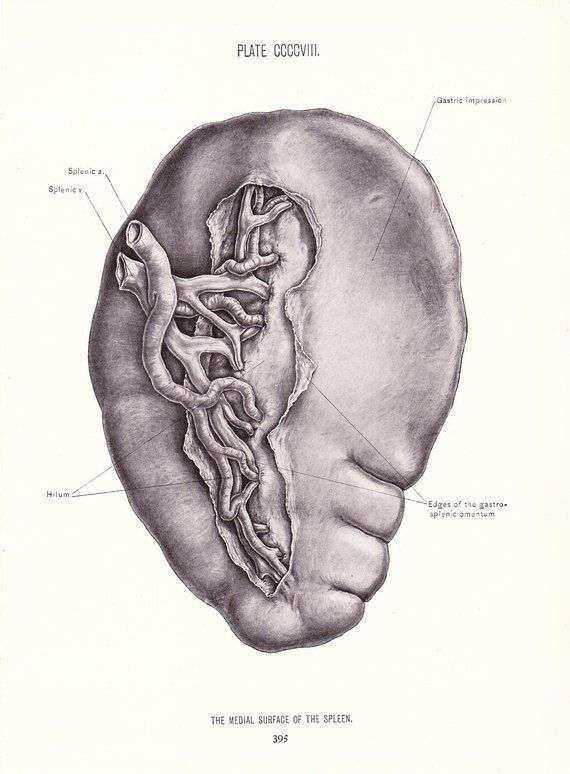 Anatomy 1926 Human Anatomy Print Medial Surface Of Spleen