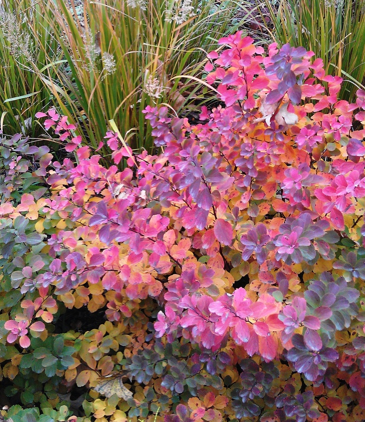 Tor Birchleaf Spirea - for Oct. color in yard