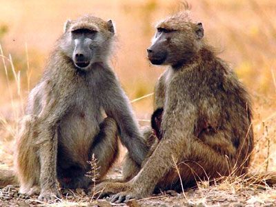 Chacma Baboons were introduced to the Vredefort Dome  by Johannes Van der Merwe on his farm Thabela Thabeng. Today the Chacma is a part of the dome wildlife.