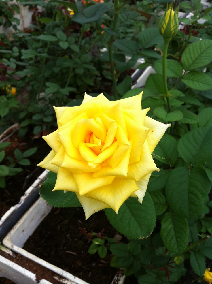 Perfect Yellow Rose in our Hydroponic Garden