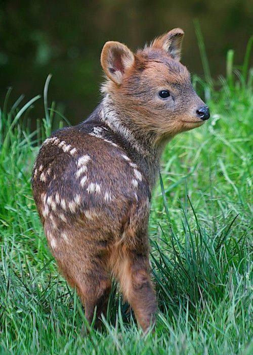 Baby Pudu ❤ worlds smallest species of deer