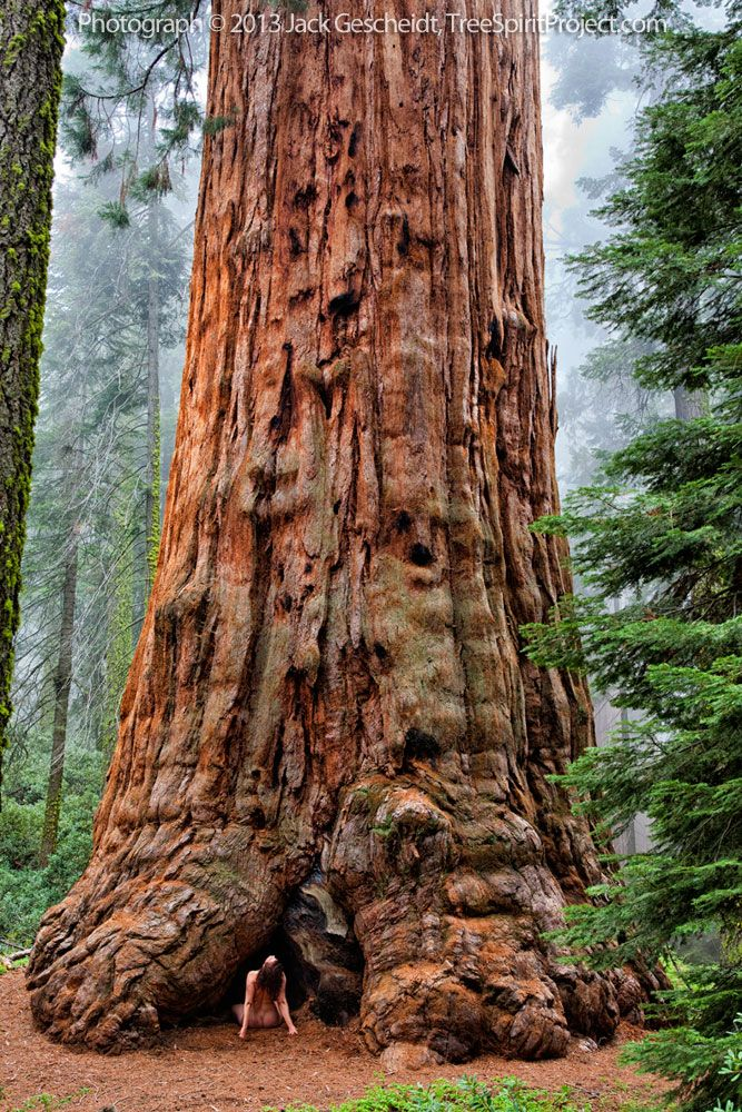 Sequoia Adoration | TreeSpirit Project