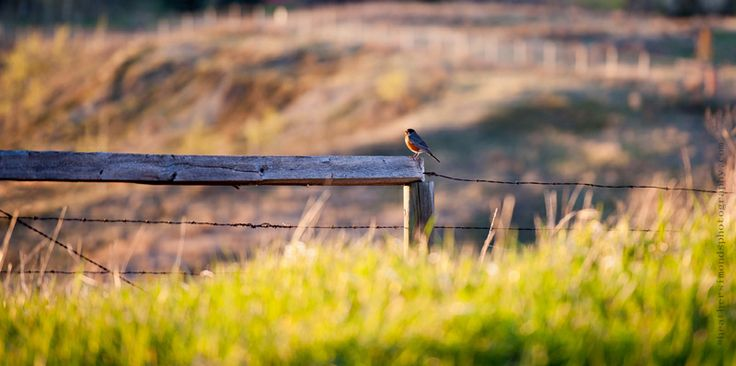 Robin at Glenbow Ranch Provincial Park, near Calgary, Alberta