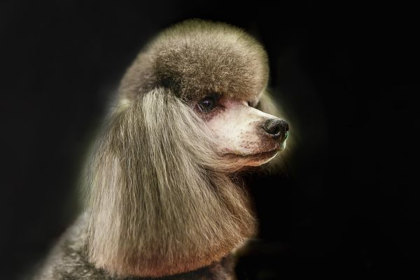 The poodle is a breed of dog, one of the most common breeds in the present by George Westermak,  The poodle is a breed of dog, one of the most common breeds in the present. The poodle ranks second in the ranking of the most intelligent breeds, compiled by Dr. Stanley Root(eng.), after the border collie. They can adapt to almost any climate. # George Westermak#domestic_and_wild_animalst#FineArtPfotography#ArtHomeDekor