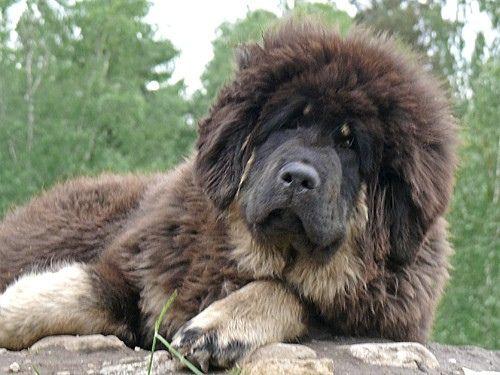 Himalai - Tibetan mastiff puppy by mastino0100, via Flickr