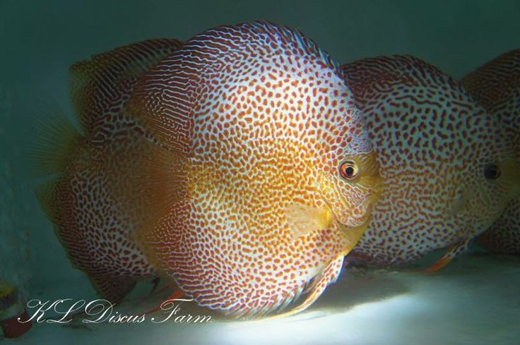 807 best fighting discus koi fish images on pinterest for Best place to buy discus fish