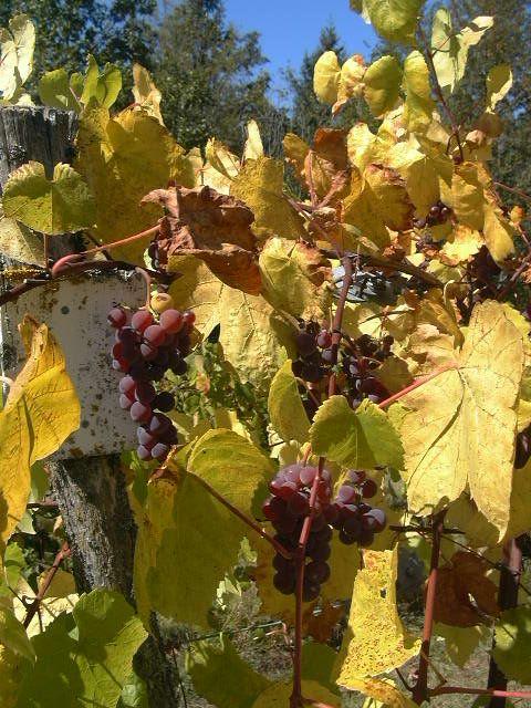 Vitis 'Swenson Red'. Rätt härdig. Kan odlas utomhus på varm plats.