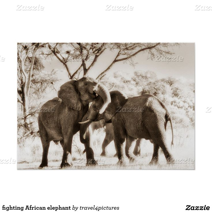 fighting African elephant Poster