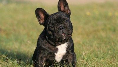 Hunderasse Französische Bulldogge