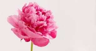 I have 1 peony bush in the full sun, and it blooms every year.  But I also have 3 peony bushes that are in partial  sun and they didn't bloom this year, it seem…