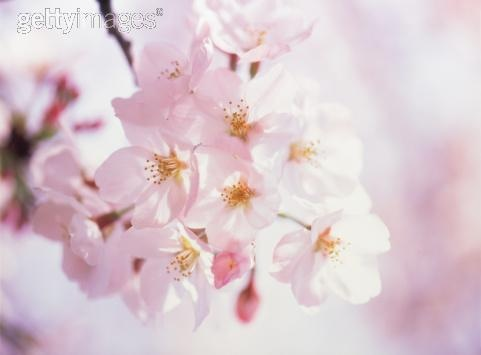 Sakura! -  photos printed on canvas. http://www.tocanvas.net/