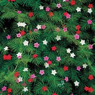 Cypress vine.  Good for trellis and fences and attracts hummingbirds. planting-ideas