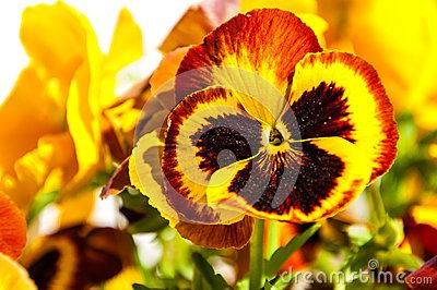 Red and yellow with black in the middle pansy - Viola tricolor hortensis.