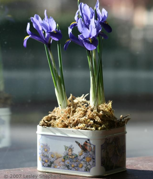Growing and Caring for  Iris reticulata 'Harmony