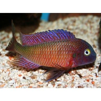 92 best cichlids of malawi images on pinterest african for Purple freshwater fish