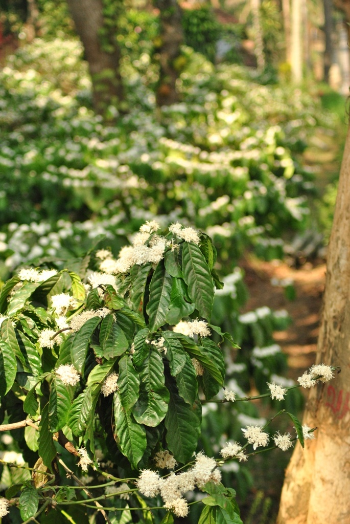 A coffee plantation in full bloom, Coorg.
