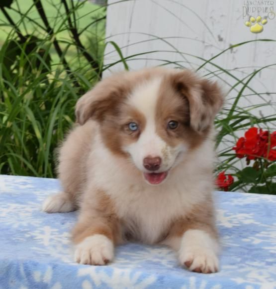 Teddy - Australian Shepherd Mix Puppy for Sale in Apple Creek, OH   Lancaster Puppies