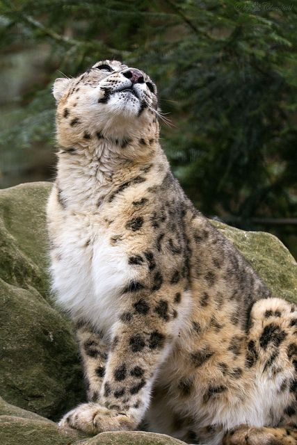 tigersandcompany:    Snow leopard (by Cloudtail)