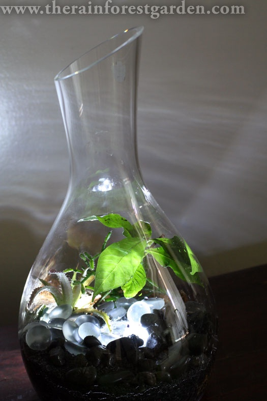 A bright idea from Steve over at The Rainforest Garden: How to Make a Glowing Terrarium.