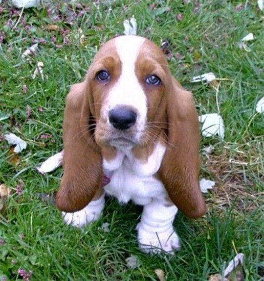 A Cute Little Basset Hound Puppy: Hound Dog, Basset Hound Puppies, Old Dogs, Basset Hound Puppy, Bassett Hound, Ears, Bassethound, Animal, Furry Friends