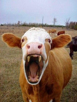 6375aa555ce422bca128d7ac3418304c - Cows are more dangerous than sharks - Facts and Trivia