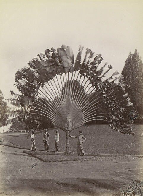 Ravenala madagascariensis. Commonly known as Traveller's Tree or Traveller's Palm - a species of plant from Madagascar. It is not a true palm but a member of the bird-of-paradise family, Strelitziaceae (Photographer and source unknown.)