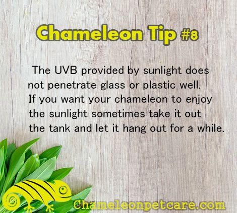 Get the best Help and Tips to care for your #chameleon . Join us on the website! #uvb #lamp #lighting