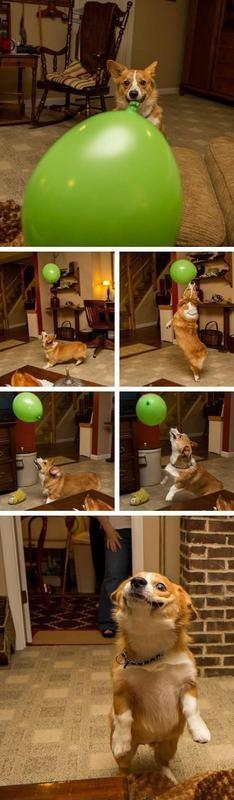 A Corgi And Her Balloon