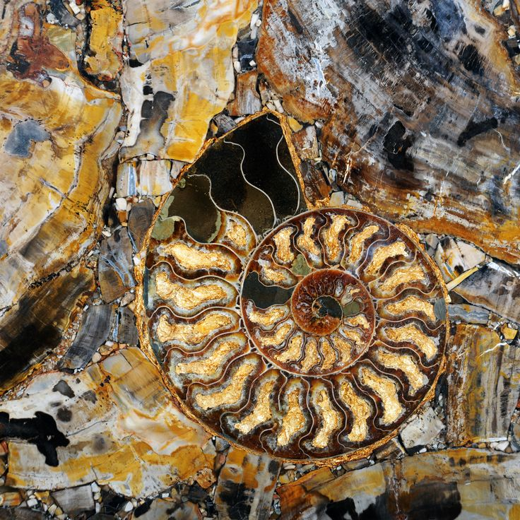 Petrified Wood with Ammonites with gold