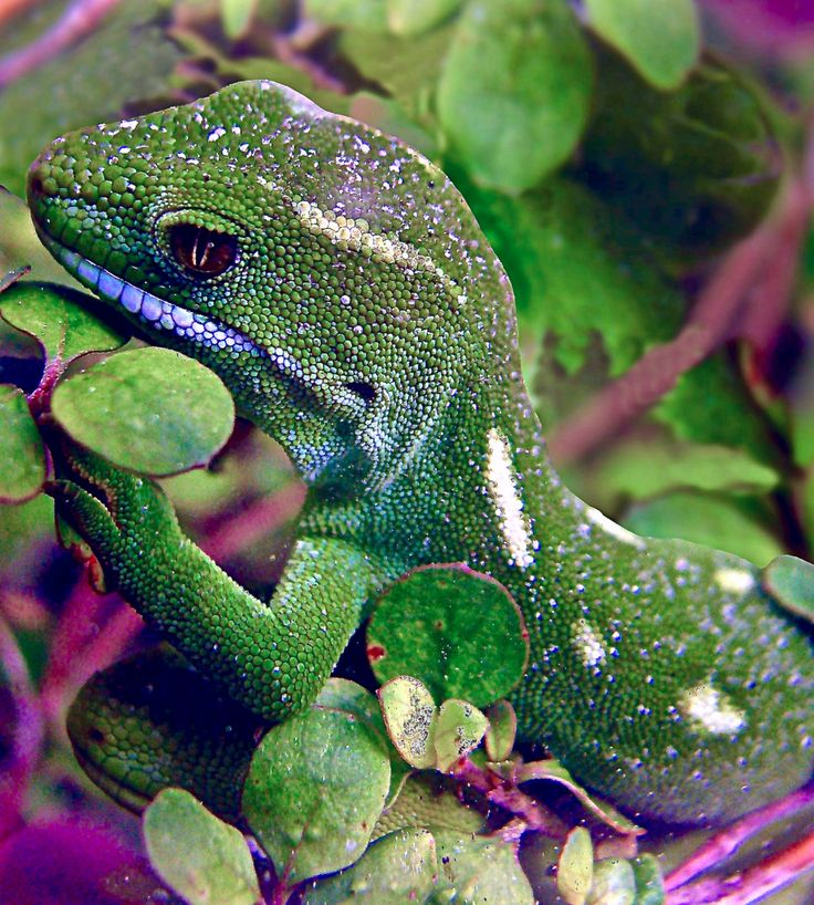 Wellington green gecko (Naultinus elegans punctatus). The Latin name means elegant and spotted. It is endemic to the southern half of the Northern Island of New Zealand. It is nocturnal and feeds on moths. by Swallowtail Garden Seeds