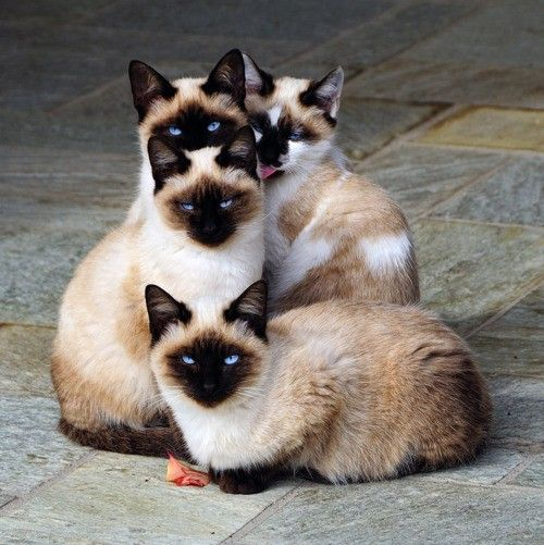 Cluster of Siamese Cats
