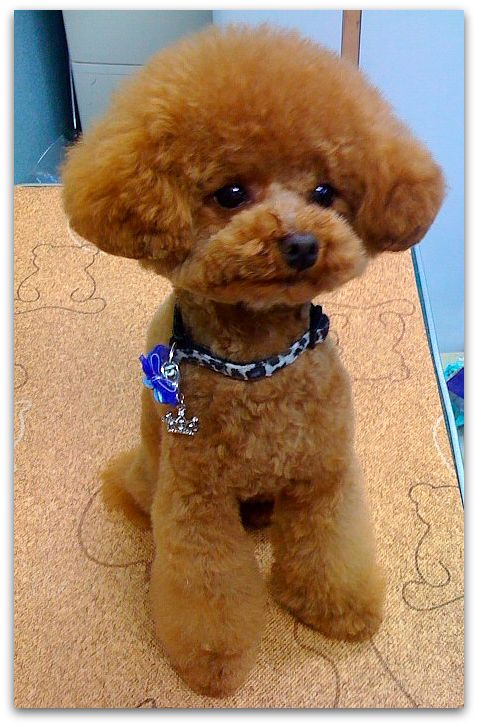 Huxtable The Poodle   Toy Poodle Blog   Parti Poodle: Japanese Style: Poodle Clips & Cuts Grooming
