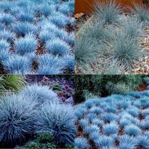 15 Blue Fescue Grass Dwarf Festuca Glauca Garden Plants