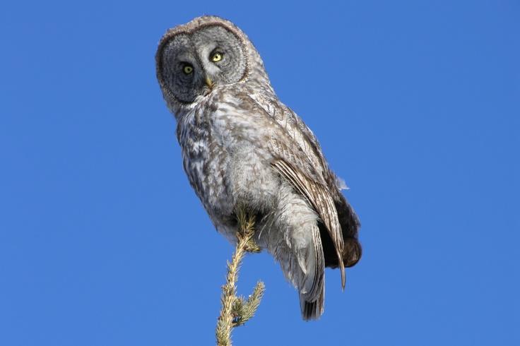great gray owl tweed ontario by susan shipman
