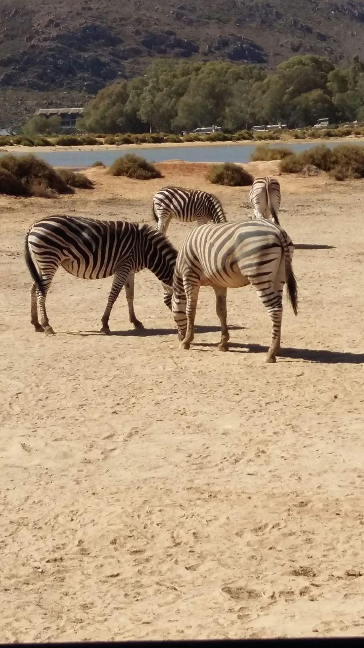 Spot the Zebra in Cape Town.... Safaris are amazing makes you realize how tiny you are...#Zebra #wildlife #safari #blackandwhite #photography