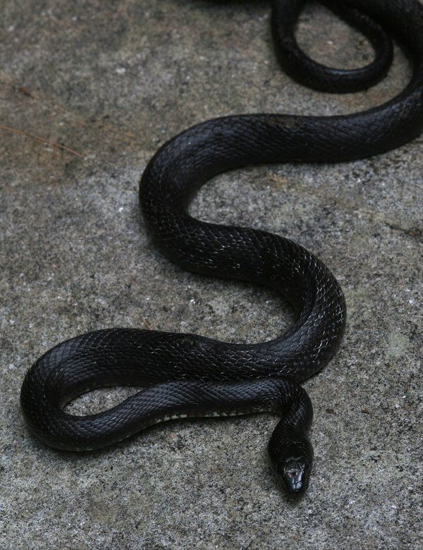 16 best images about mamba lanegra on pinterest pet for Black mamba tattoo
