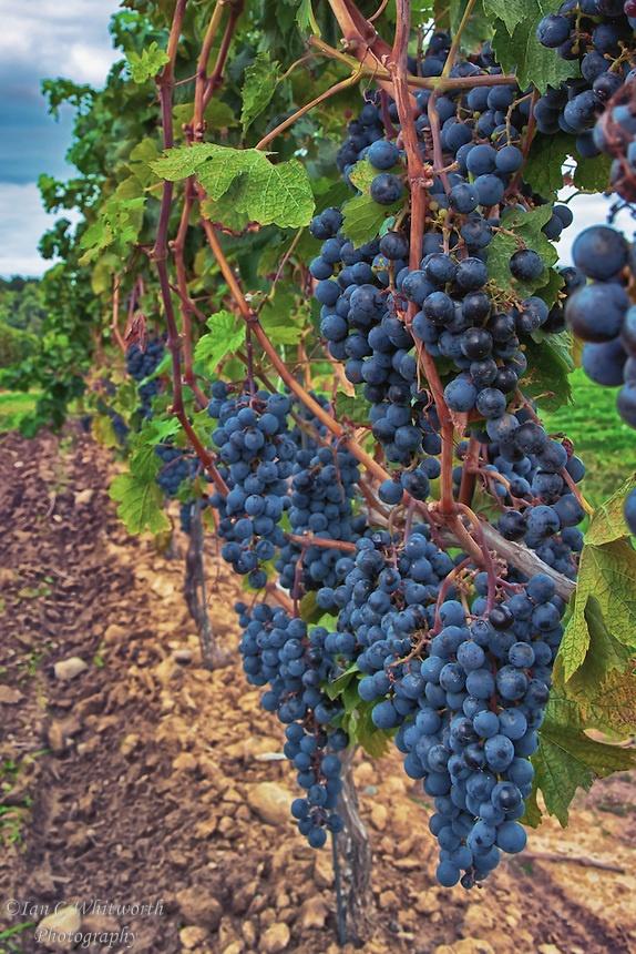Mature cabernet sauvignon grapes on the vine in the Niagara Region.