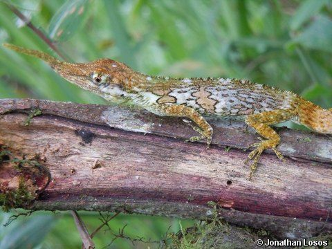 """Extinct"" No More: Meet The Pinocchio Lizard! (Video)...see more at PetsLady.com -The FUN site for Animal Lovers"