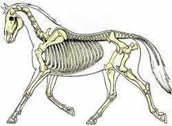 paarden skelet - Google zoeken
