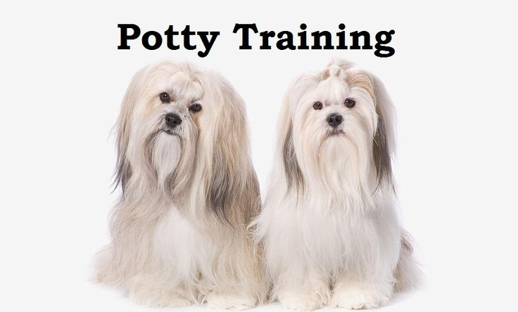 Lhasa Apso Puppies. How To Potty Train A Lhasa Apso Puppy. Lhasa Apso House Training Tips. Housebreaking Lhasa Apso Puppies Fast & Easy. Share this Pin with anyone needing to potty train a Lhasa Apso Puppy. Click on this link to watch our FREE world-famous video at ModernPuppies.com