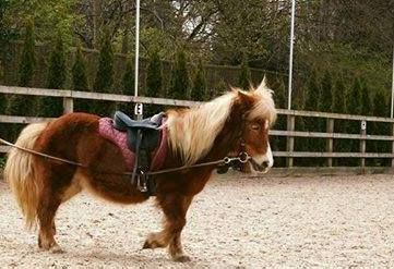 Our little shetlands for our tiny tot riders are the best :)
