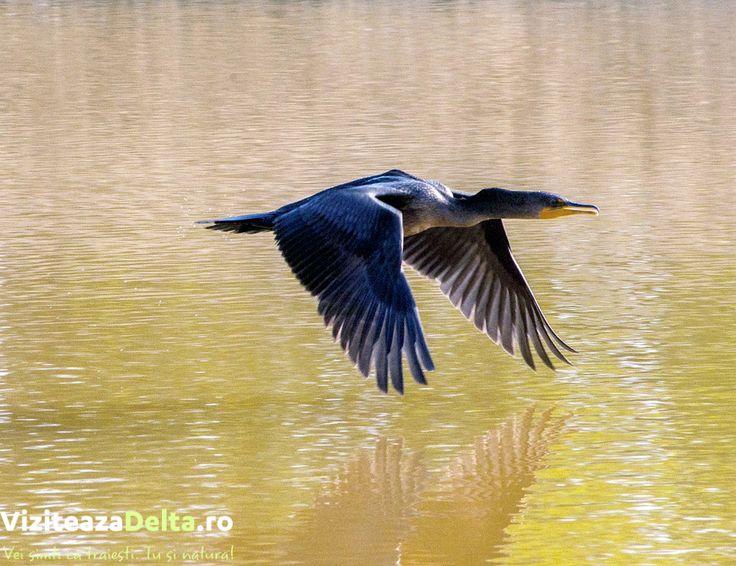 In anumite zone, cormoranii sunt folositi la pescuit🤷. Acestia au un lat in jurul gatului asigurand ca pasarea nu va inghiti complet prada 🎣 #viziteazadelta