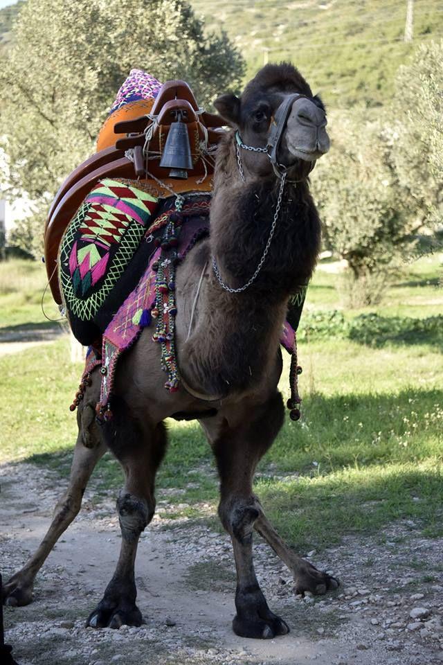"""Muğla'nın bodrum ilçesinde, her yıl geleneksel olarak kış aylarında düzenlenen deve güreşleri öncesinde, """"Havutlama"""" adı verilen, develerin güreşlere hazırlık süreci başladı."""
