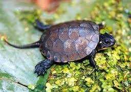 Blanding's Turtle - threatened in Iowa