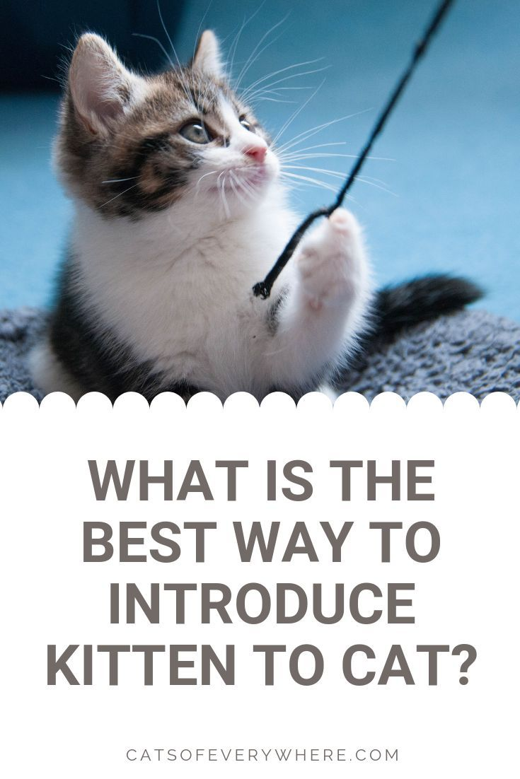 Easy 21 Secrets To Overcome Kitten Behavior Problems Kittens Cats Kitten Care