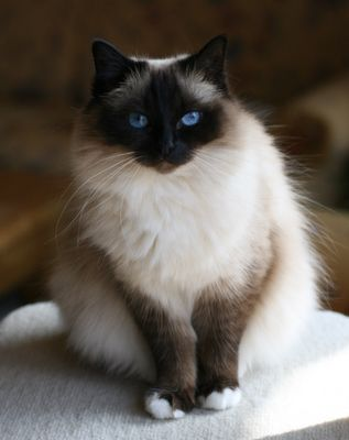 Birman - blue eyes with dark faces & legs.  Also in a paler version of this cat.  Love, love, love this cat - so beautiful!!!