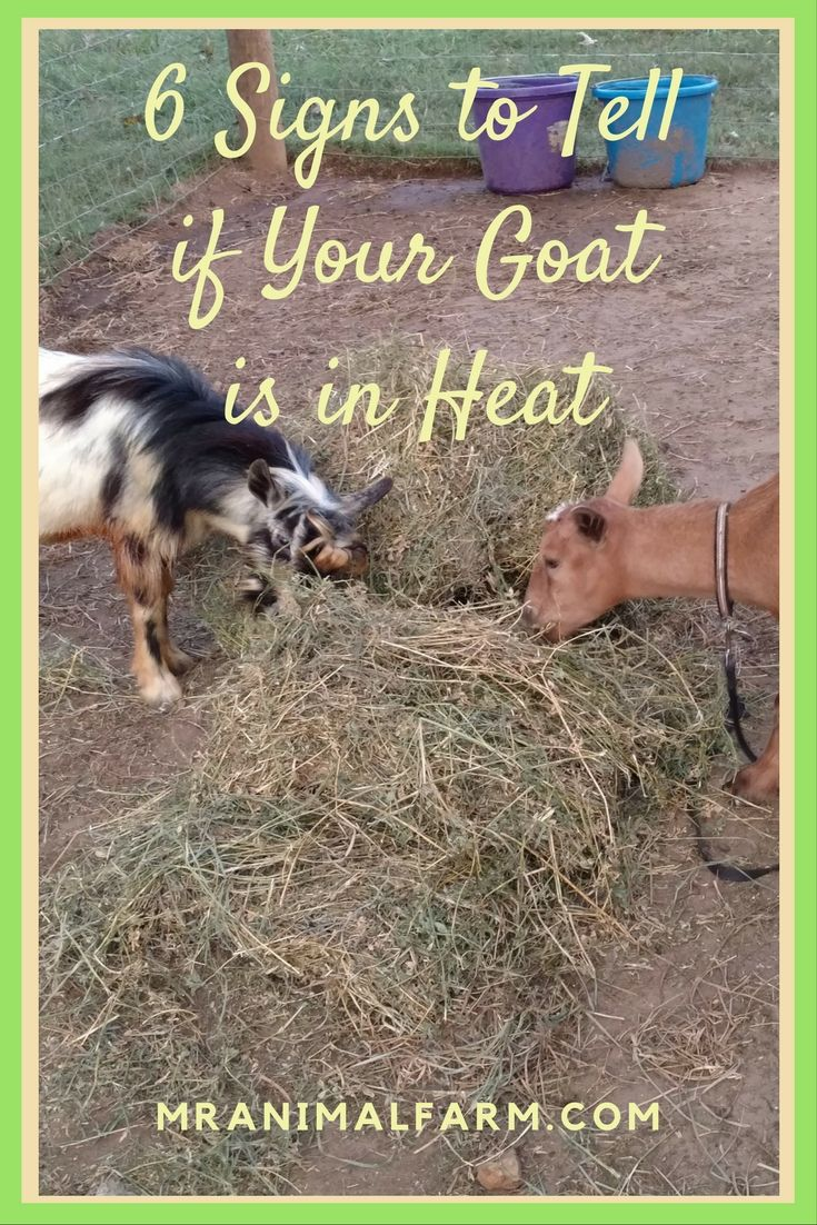 Know how to tell your goat is in heat so that you know when to breed her.